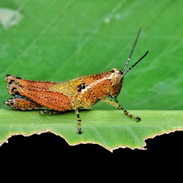 """Orange Grasshopper"" stock image"