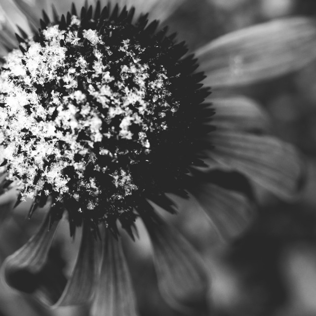 """Flower And Snow Black And White Photo II"" stock image"