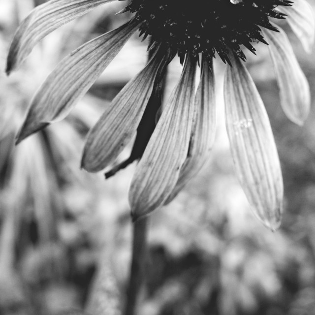 """Flower And Snow Black And White Photo I"" stock image"
