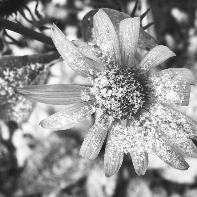 """Flower And Snow Black And White Photo III"" stock image"