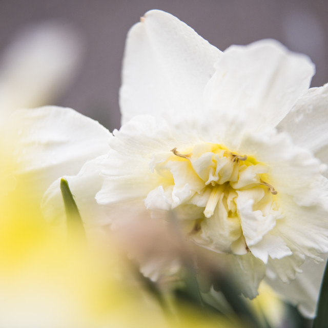 """White Flower Home Garden Macro Details"" stock image"