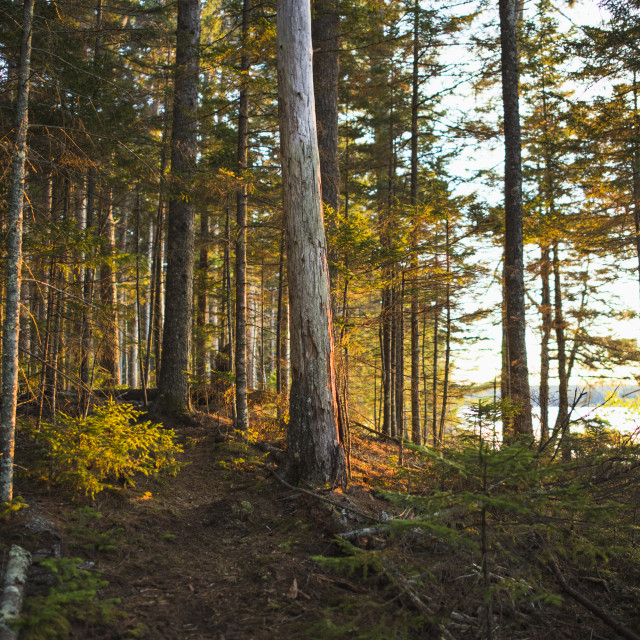 """Hiking Nature Trail in Maine at Golden Hour"" stock image"