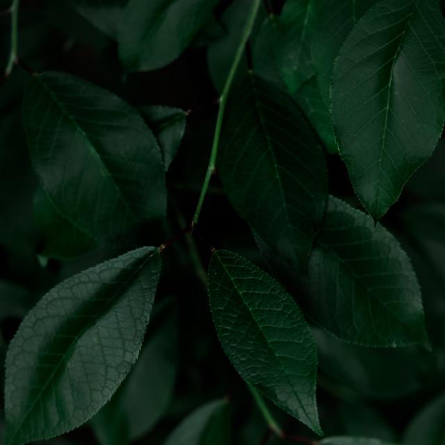 """dark foliage"" stock image"