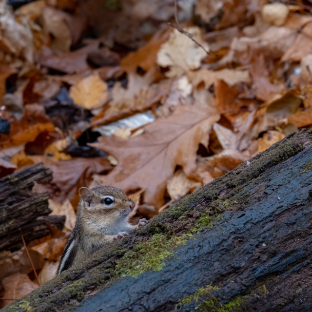 """Chipmunk peeking out from behind forest log"" stock image"