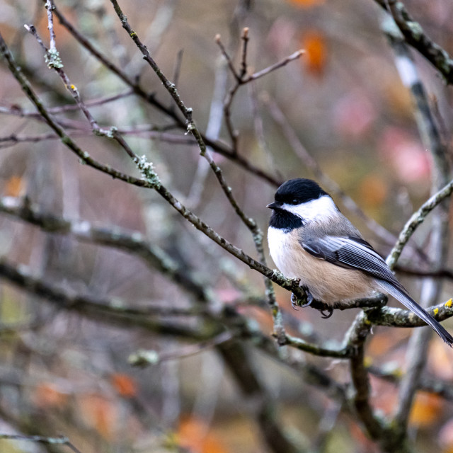 """""""Black-capped chickadee perching in a bare tree"""" stock image"""