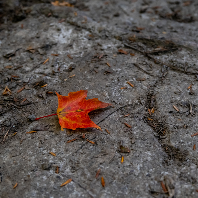 """Single red fallen maple leaf on rock"" stock image"