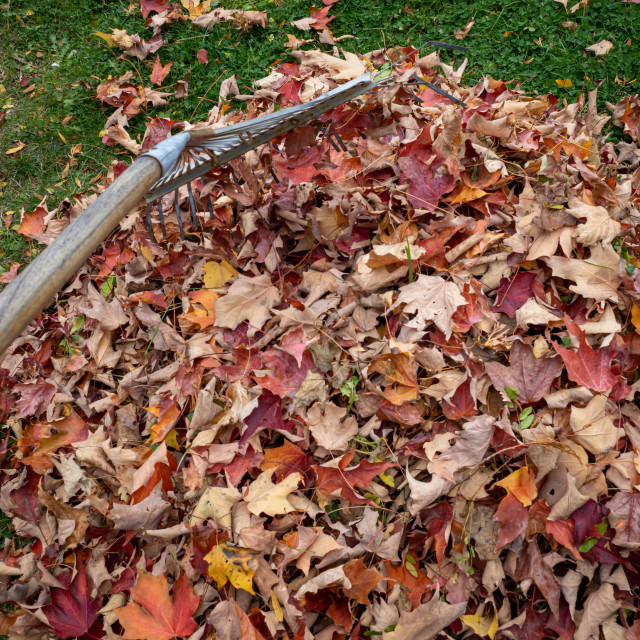 """Raking up leaves in the fall season"" stock image"