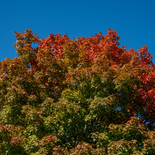 """Fall colors bring fiery red to green tree leaves"" stock image"