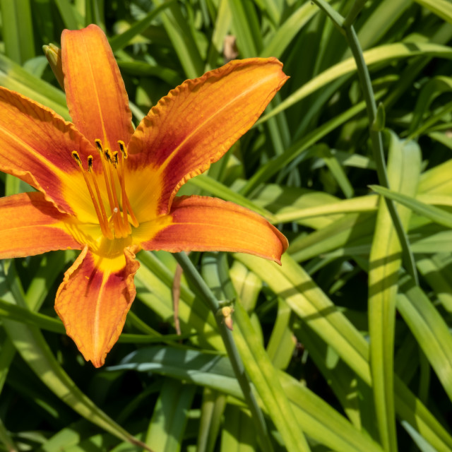 """Orange Day-Lily"" stock image"