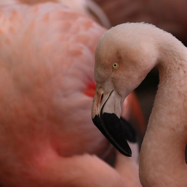 """Chilean flamingo, Phoenicopterus chilensis"" stock image"