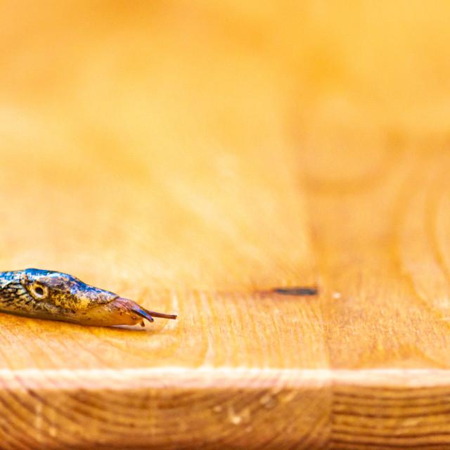 """""""Land Slug on a Wooden Platform"""" stock image"""