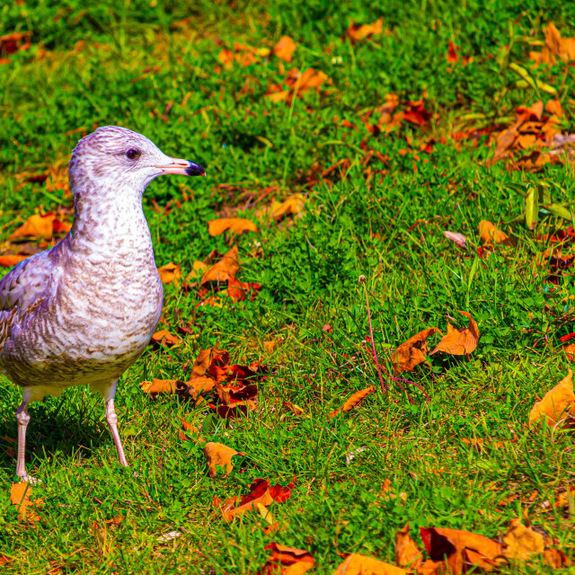 """A Seagull in the Grass"" stock image"