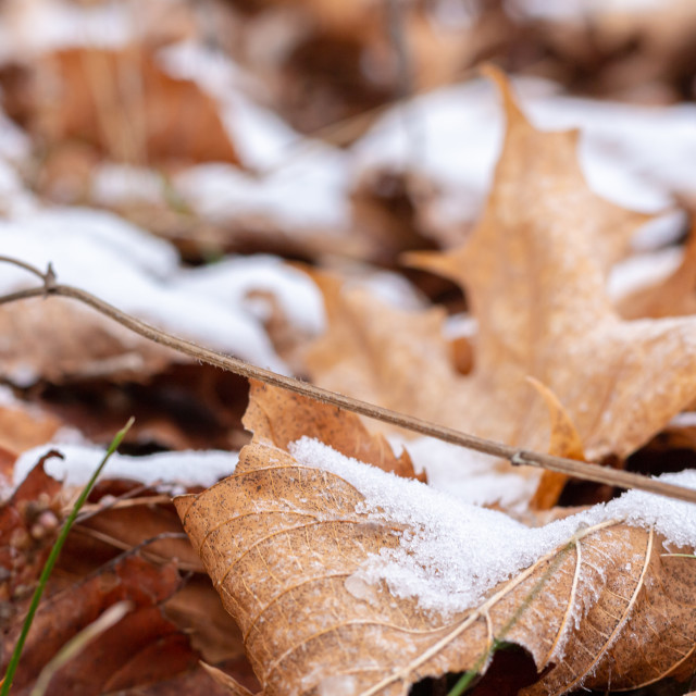 """""""Snow Falls on Leaves as Fall is Becoming Winter"""" stock image"""