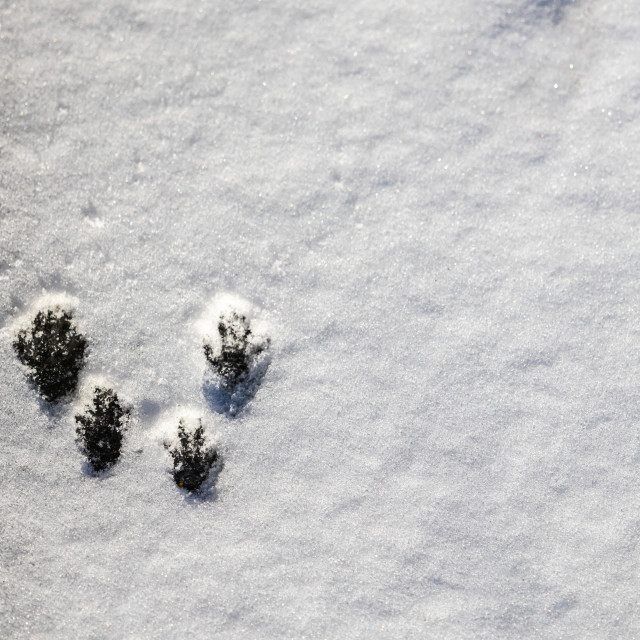 """""""Squirrel Tracks in the Snow"""" stock image"""