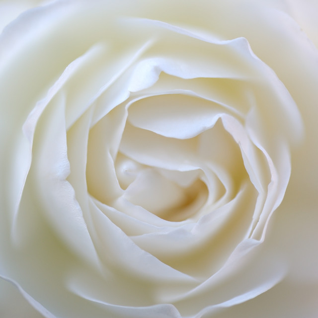 """White Rose Macro"" stock image"