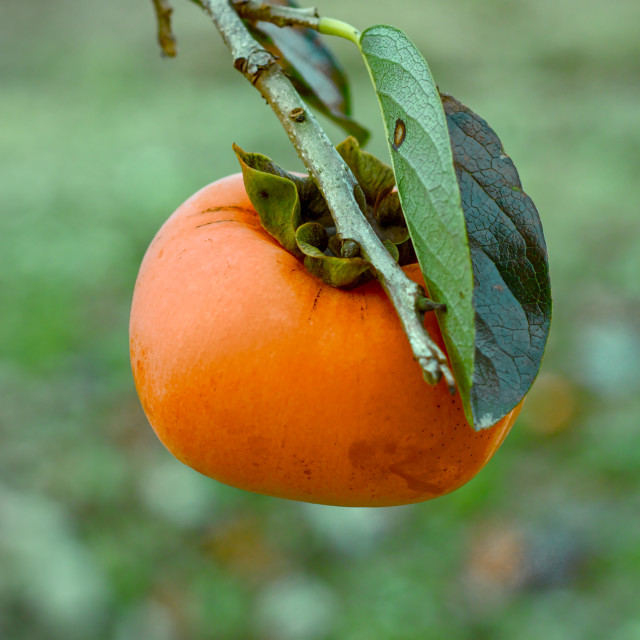 """Persimmon on a branch"" stock image"