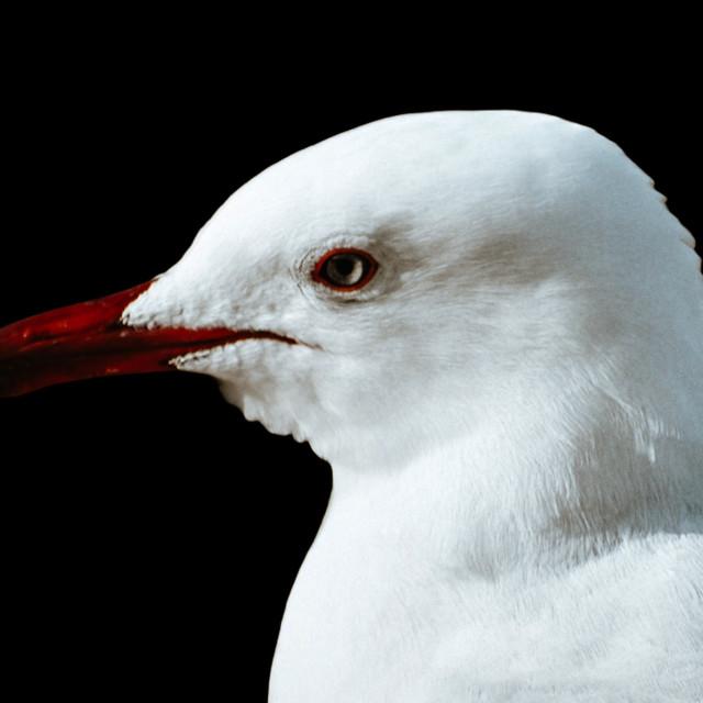 """Seagull"" stock image"