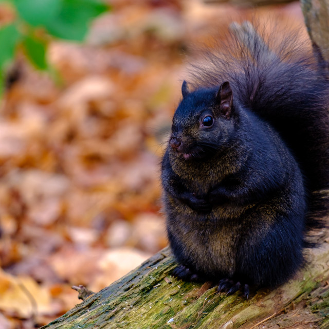 """""""Chubby black squirrel sits on a log"""" stock image"""