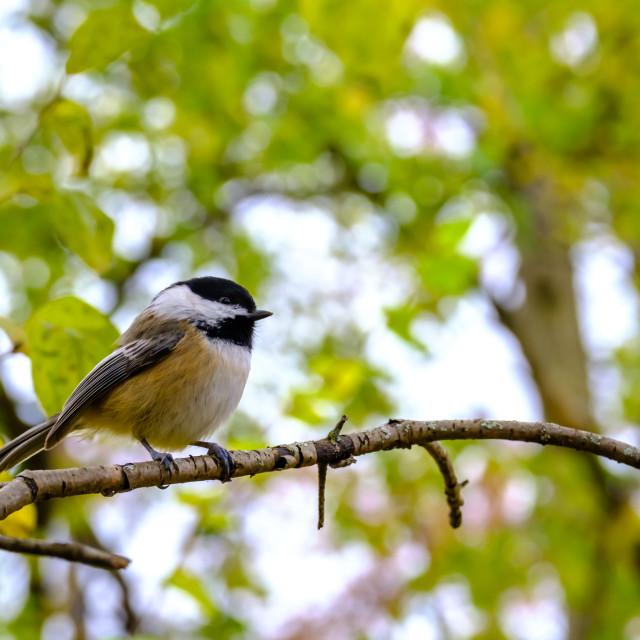 """Perching chickadee on tree branch"" stock image"