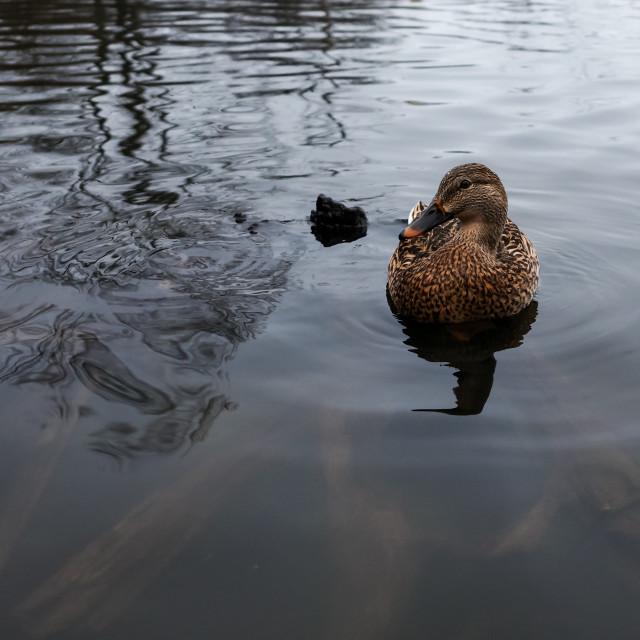 """Female mallard duck on wide pond surface"" stock image"