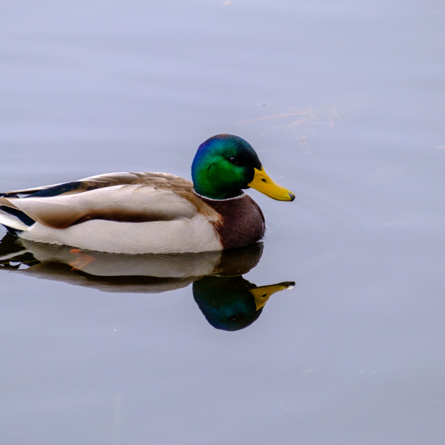 """""""Mallard duck afloat in a pond with reflection"""" stock image"""