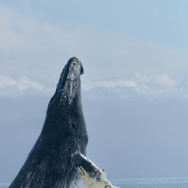 """Whale baleine à bosse"" stock image"