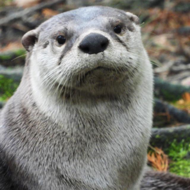 """Otter Close-up"" stock image"