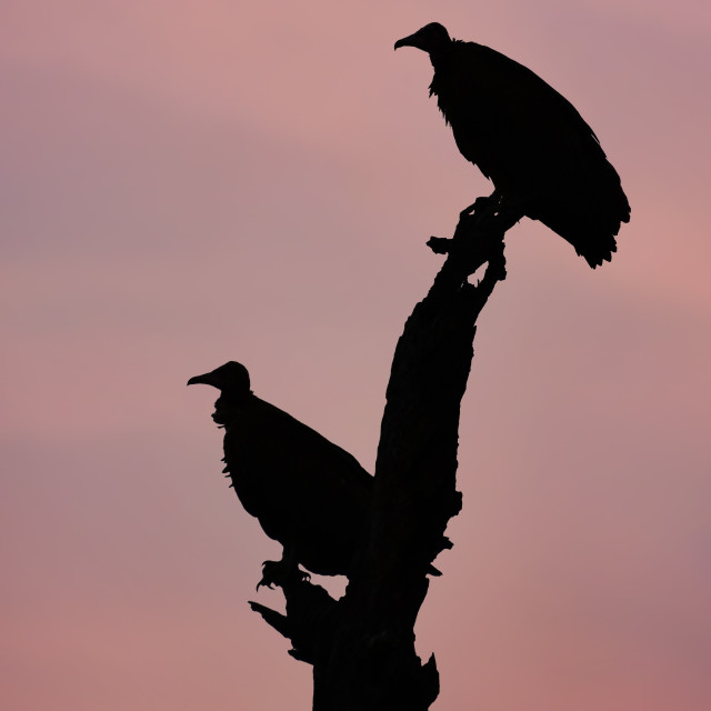 """""""Vultures silhouette"""" stock image"""