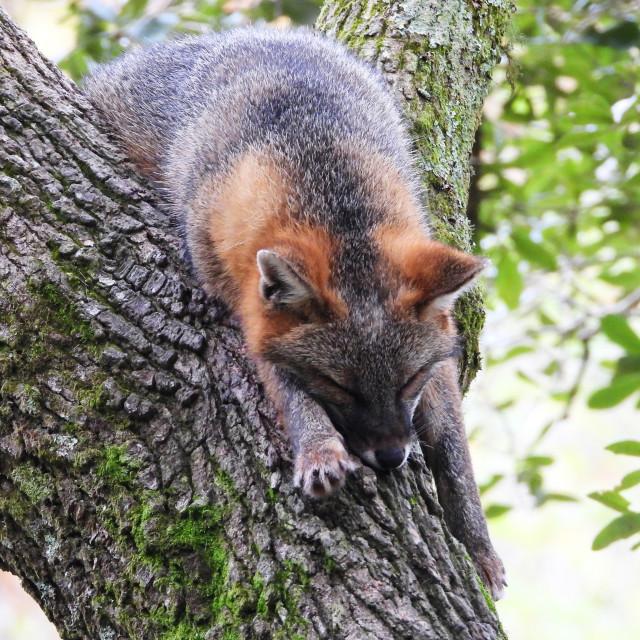 """Sleeping Fox in Tree"" stock image"