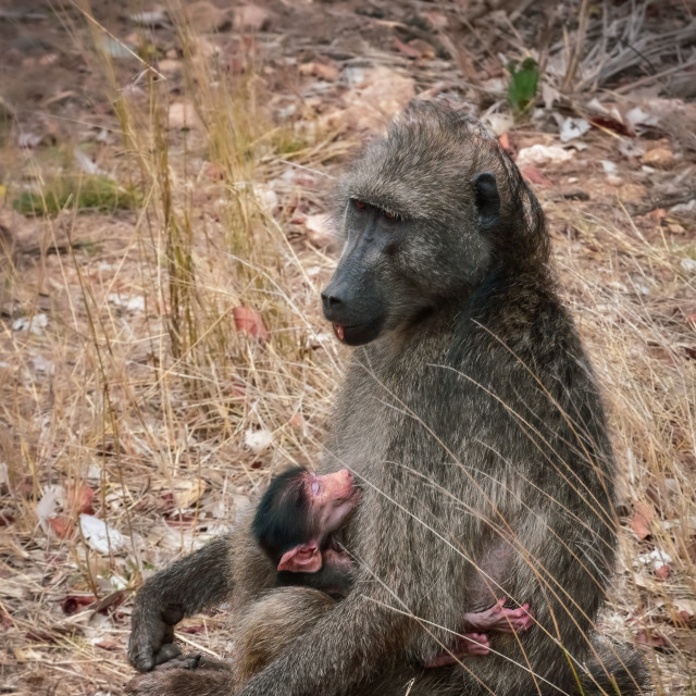 """""""Baboon mother and child"""" stock image"""