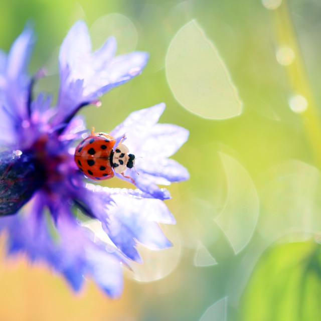 """The little red ladybug from my garden poses for photos"" stock image"