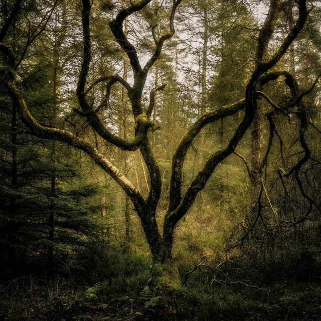 """Twisted Birch"" stock image"