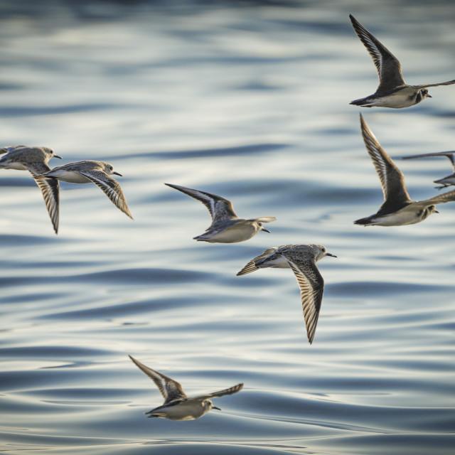 """""""Flock of Sanderlings over sea"""" stock image"""