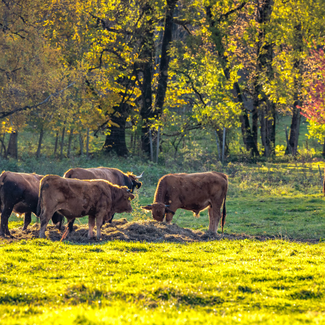 """""""Calves in the pasture"""" stock image"""