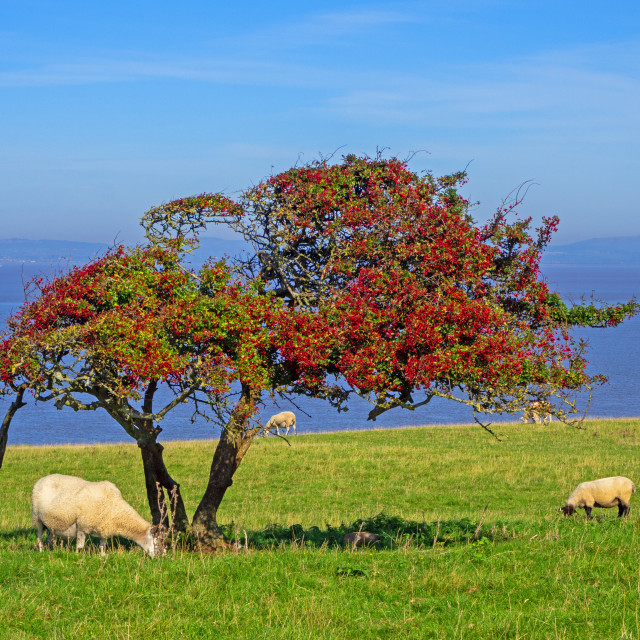 """Rowan tree on Sand Point Somerset"" stock image"