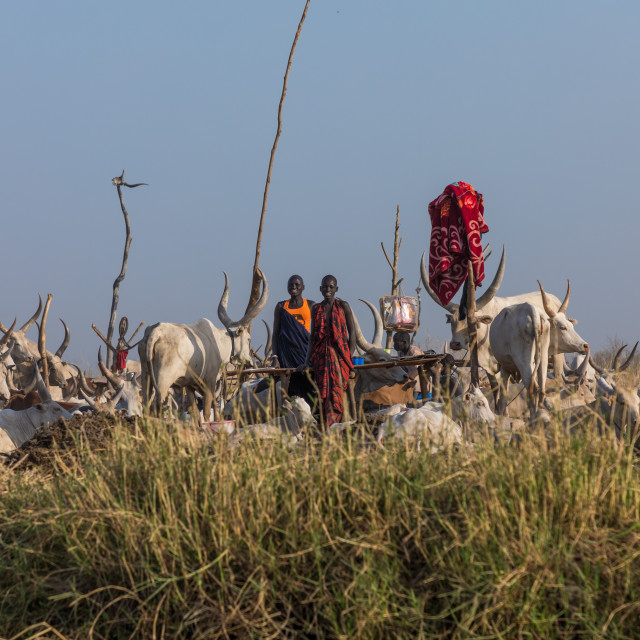 """""""Long horns cows in a Mundari tribe camp on the banks of River Nile, Central..."""" stock image"""