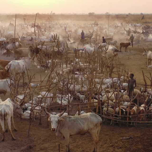 """""""Aerial view of long horns cows in a Mundari tribe cattle camp, Central..."""" stock image"""