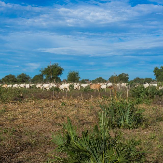 """Long horns cows in a Mundari tribe camp, Central Equatoria, Terekeka, South..."" stock image"