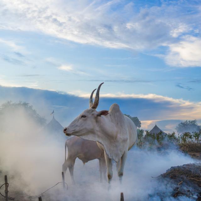 """Long horns cows in a Mundari tribe camp gathering around bonfires to repel..."" stock image"
