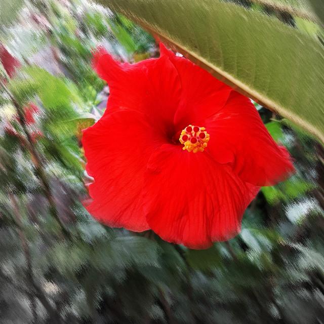 """""""Profondo ibiscus n.2"""" stock image"""