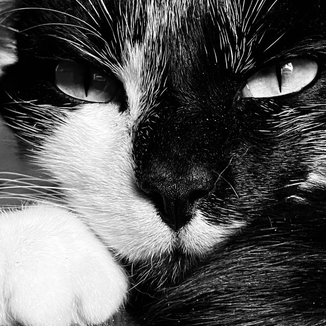 """Close-up portrait of fierce cat."" stock image"