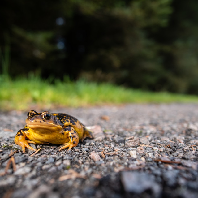 """""""Frog in Road"""" stock image"""