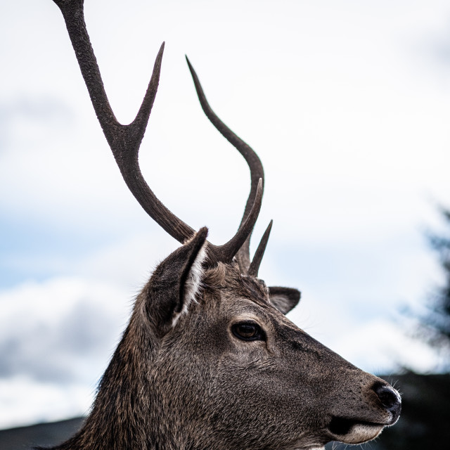 """""""Stag"""" stock image"""
