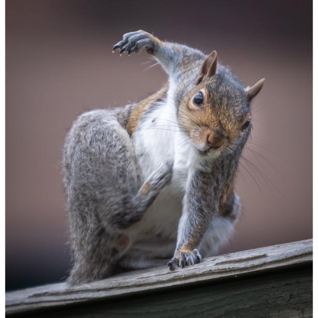 """Ninja Squirrel"" stock image"