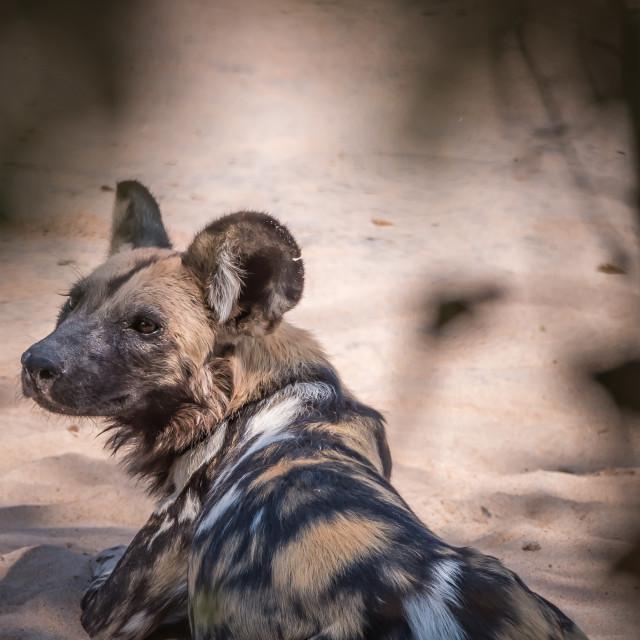 """""""Wild dog- African Dog"""" stock image"""