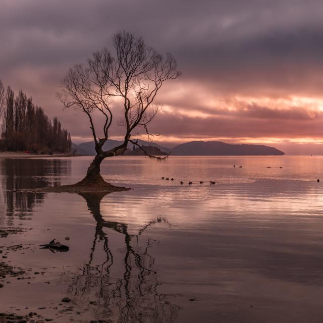 """Wanaka Tree sunset"" stock image"