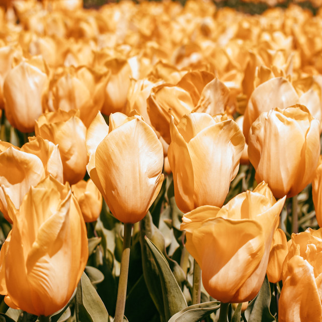 """""""Spring time tulips"""" stock image"""