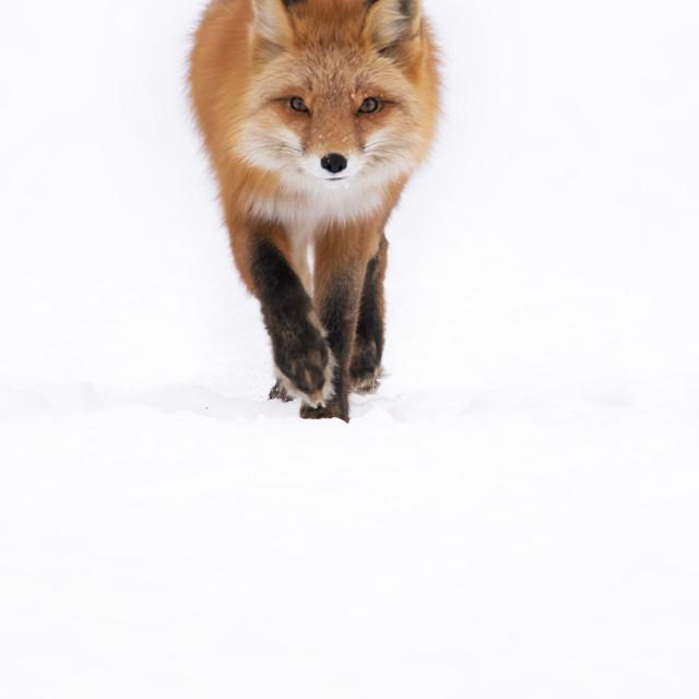 """Red fox high key"" stock image"