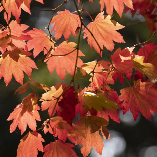"""Backlit maple tree leaves in autumnal shades, England, UK"" stock image"