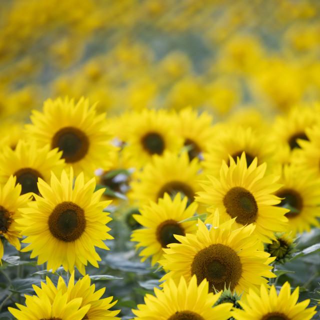 """""""Field full of yellow sunflowers, Newbury, West Berkshire, England, United..."""" stock image"""
